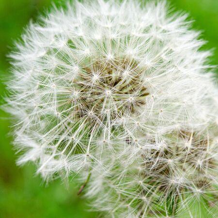 White fluffy dandelion in the spring green garden. Close-up