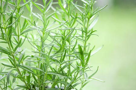 Fragrant herbs. Branches of green rahmarin on a spring green background. Fresh Rosemary Herb grow outdoor