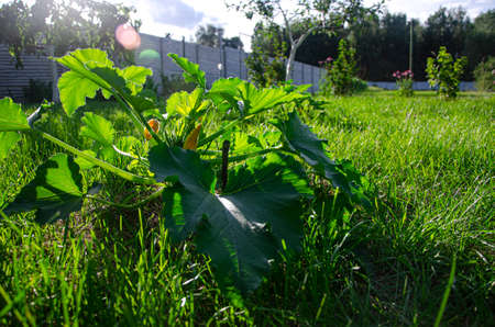 A zucchini bush with large leaves and yellow flowers grows in the summer garden Foto de archivo