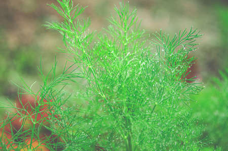 A small drop of rain on a green branch of dill in a garden