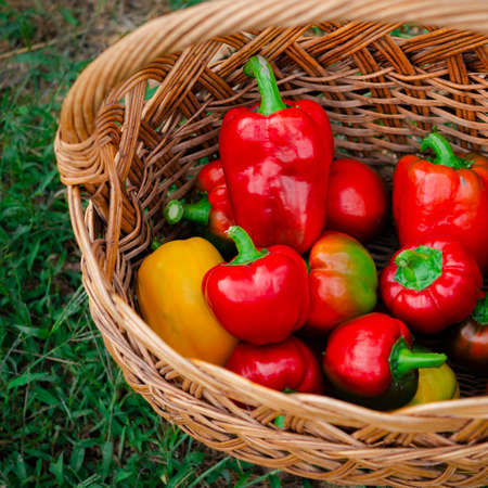 Braided basket with fresh harvest of sweet peppers Stockfoto