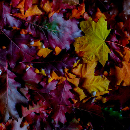 Yellow, red, orange and purple autumn leaves lie on the table