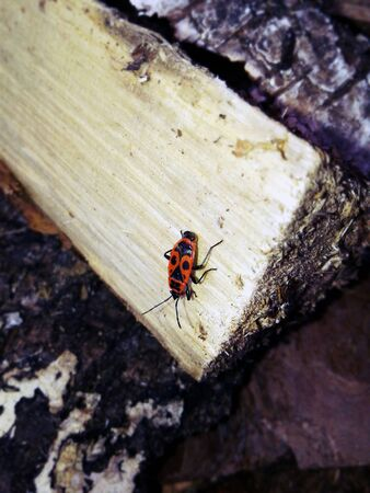 Red beetle on the tree