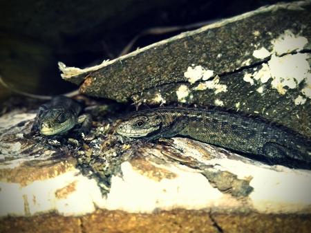 Sand lizard basking in the sun