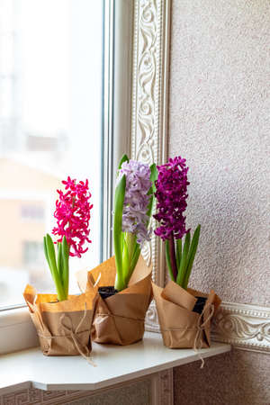 Flowers composition with lilac and pink hyacinths potted near window. March 8, Easter, Mothers Day