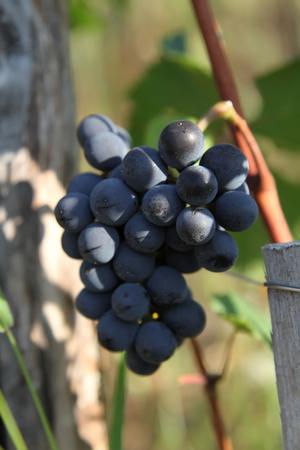 pinot noir: Blue grapes bunch Pinot Noir Slovenia Vipava valley