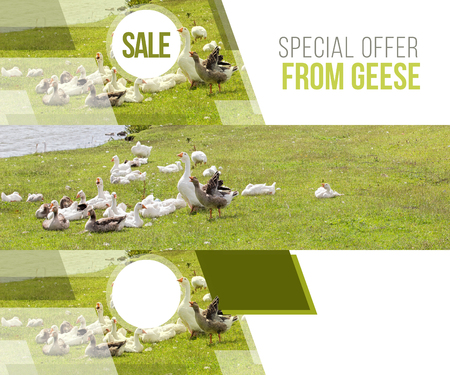 geese: a flock of geese at the lake, geese in the village of grass lake, the geese communicate, banner, website header