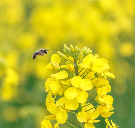 Honey Bee collecting pollen on yellow rape flower Stock Photo