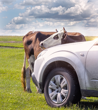 Curious cow. Cow selfie with the car. Stock Photo