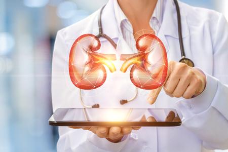 De arts toont de menselijke nier op een virtueel computerscherm.