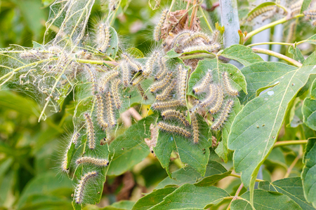 The caterpillars eat the leaves of the plant. Illustration of pests in the garden. Banco de Imagens