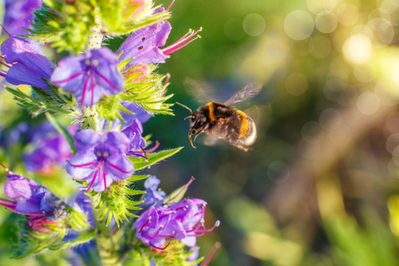 Bumblebee flies to a flower to collect honey.