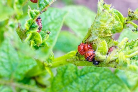 The larva of the Colorado potato beetle on potato leaves. Stock Photo