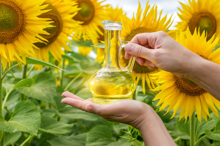 Vegetable oil in glass pitcher in her hands on background of sunflower. Stock Photo