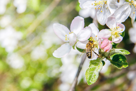 Bee pollinates a flower and collects honey .