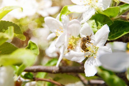 Bee pollinates a flower and collects honey on blurred background .