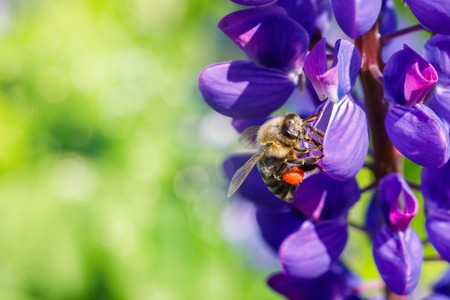 The bee collects honey on a flower of lupine.
