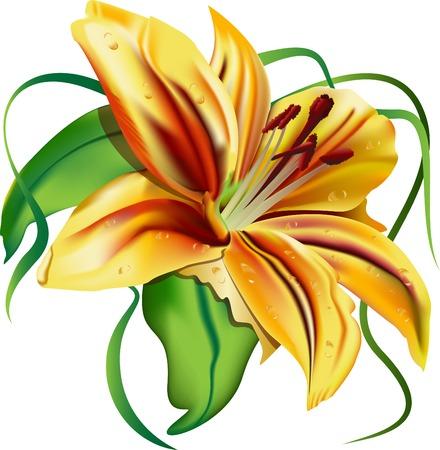 bellissimo giglio, bellissimo fiore, foglie verdi, giglio giallo, tigre, sapore, vettore, illustrazione, carattere, emozioni piacevoli; elegante Vettoriali