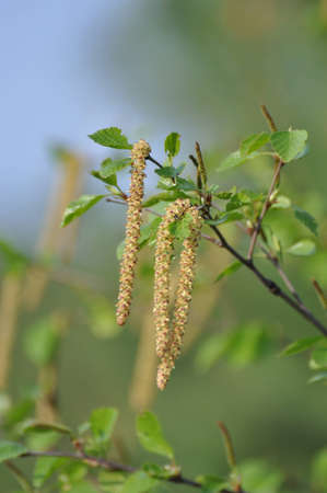 leaflets: Young leaflets of a birch grow in the spring