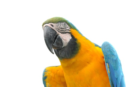 Colorful blue parrot macaw isolated on white background photo