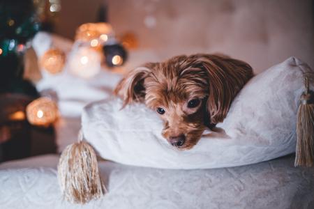 Brown dog on brown plaid Stock Photo