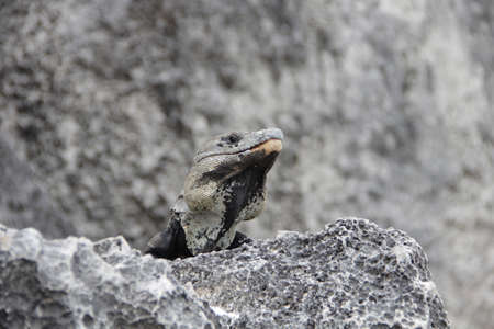 A gray iguana stands against a background of gray rocks. Wildlife theme. Mexico.
