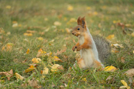 A squirrel with a fluffy tail collecting nuts.