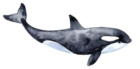 Killer whale. Watercolor illustration. Isolated on a white background.