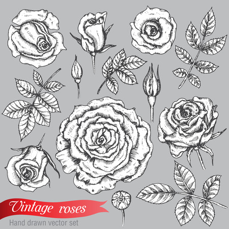 rose flowers: Set of roses  and leaves, hand drawn illustration in graphic vintage style
