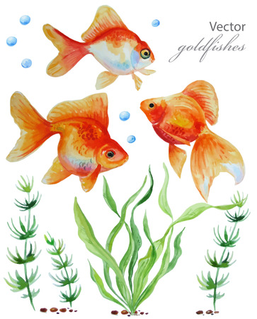 goldfishes: Watercolor vector collection of  hand drawn goldfishes and aglae. Illustration