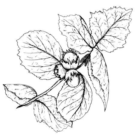 Hand getrokken vector illustratie van hazelnoot tak en bladeren in de schets stijl. Vector Illustratie