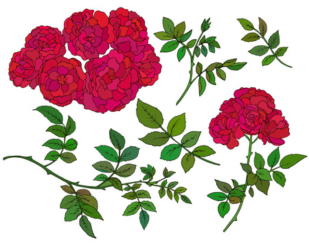 thorn bush: Vector collection of  hand drawn red bush roses isolated on white background