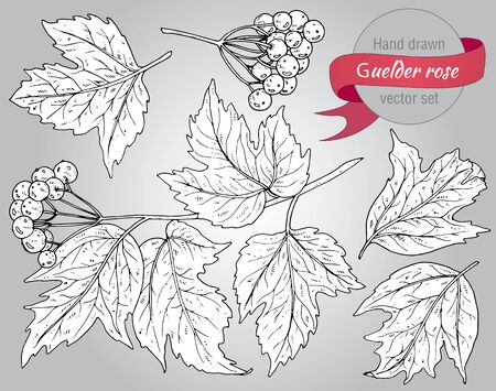 guelder rose berry: Clip art collection of hand drawn guelder rose plant with berries and leaves Illustration