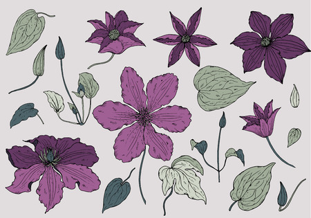 garden flower: Set of hand drawn beautiful clematis flowers and leaves