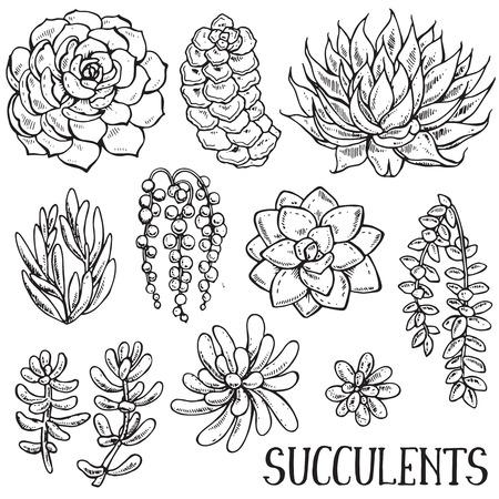 白地に手描きの多肉植物のベクトル コレクションを分離します。