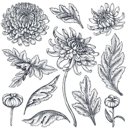 Set of hand drawn chrysanthemum flowers.  イラスト・ベクター素材