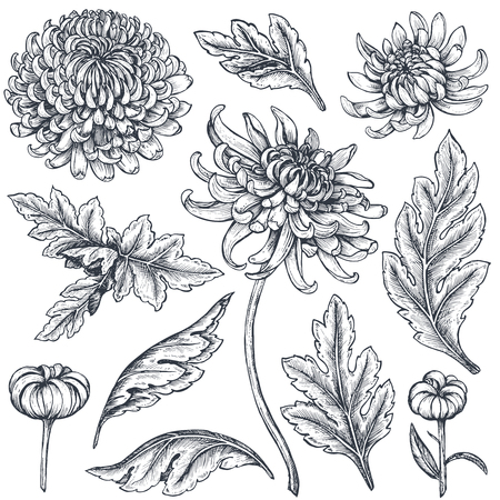 Set of hand drawn chrysanthemum flowers. Vectores