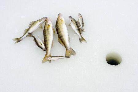 Winter fishing. Just trapped zander lies on ice photo
