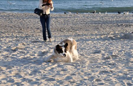 Dog breed St  Bernard walk on the beach photo