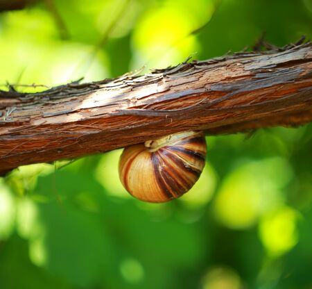 grape snail: Photo snail on the vine.