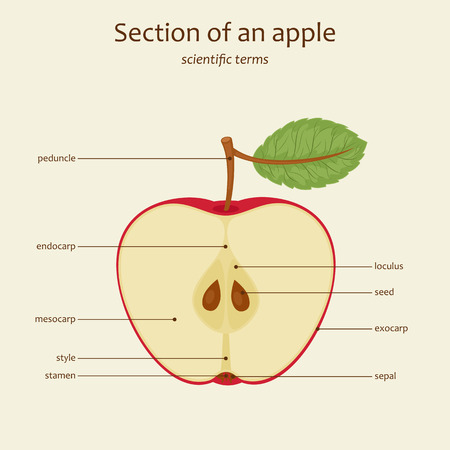 Section of an apple. Apple parts names. Study guide. Vector illustration Ilustração