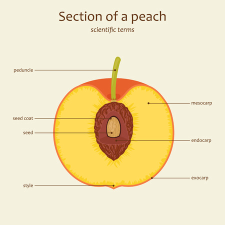 Section of a peach. Peach parts names. Study guide. Vector illustration