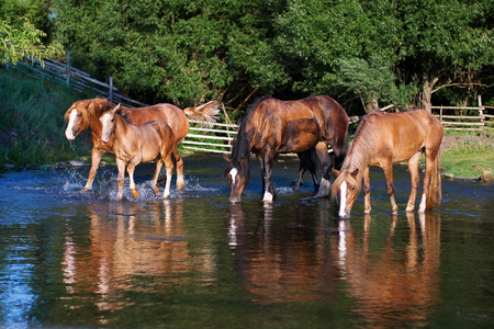 synchronously: Four thirsty horses on the lake drinking water synchronously