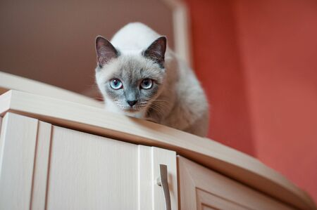 Siamese cat with blue eyes looks down