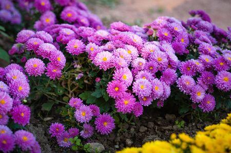 Beautiful purple chrysanthemum as background picture.  wallpaper, chrysanthemums in autumn. grade Fantasy Stock Photo