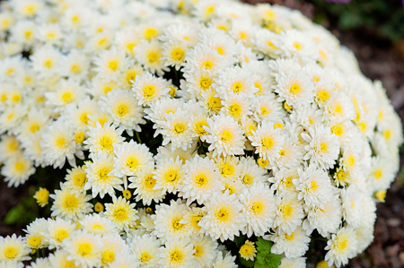 Beautiful white chrysanthemum as background picture.  wallpaper, chrysanthemums in autumn. Stock Photo