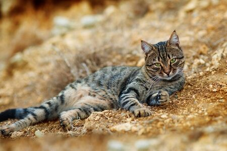 Beautiful striped cat lying on stones. Adult gray tabby cat is outdoor.