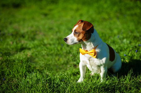 Purebred Jack Russel Terrier dog With yellow bow tie outdoors in the nature on grass meadow on a summer day.