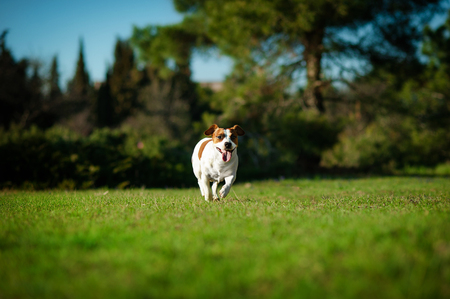 jack russel Runs along the green grass in the park