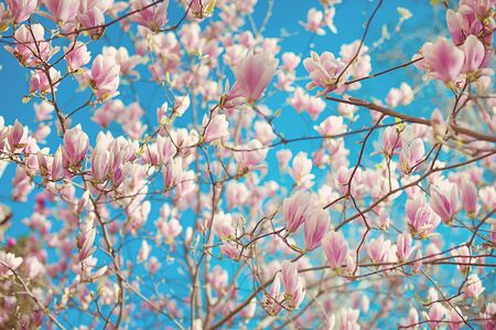 magnolia soulangeana: Branch of magnolia soulangeana with blossoming flowers